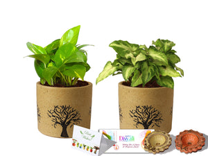 Rolling Nature Diwali Gift Combo of Good Luck Air Purifying Live Money Plant and Green Syngonium in Brown Barrel Aroez Ceramic Pot