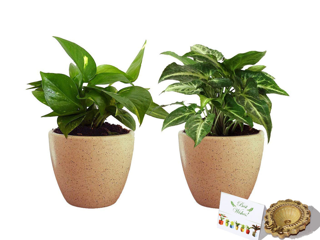 Rolling Nature Diwali Gift Combo of Good Luck Air Purifying Live Money Plant and Syngonium Green Plant in Brown Round Dew Ceramic Pot