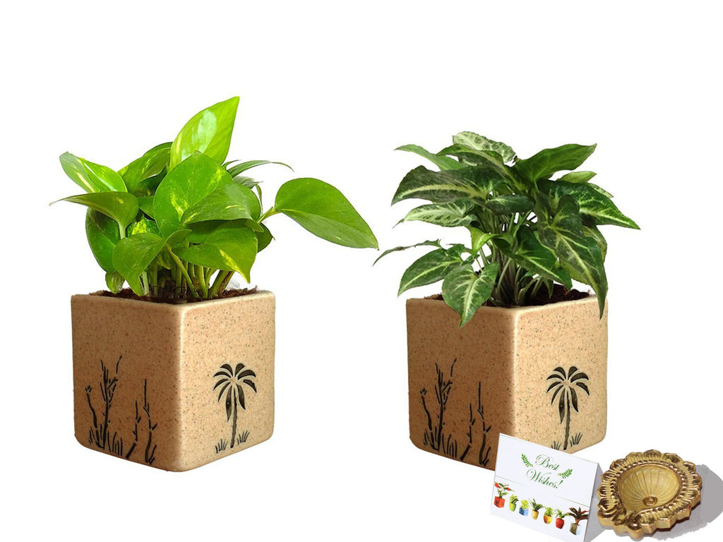 Rolling Nature Diwali Gift Combo of Good Luck Air Purifying Live Money Plant and Syngonium Green Plant in Brown Square Aroez Ceramic Pot