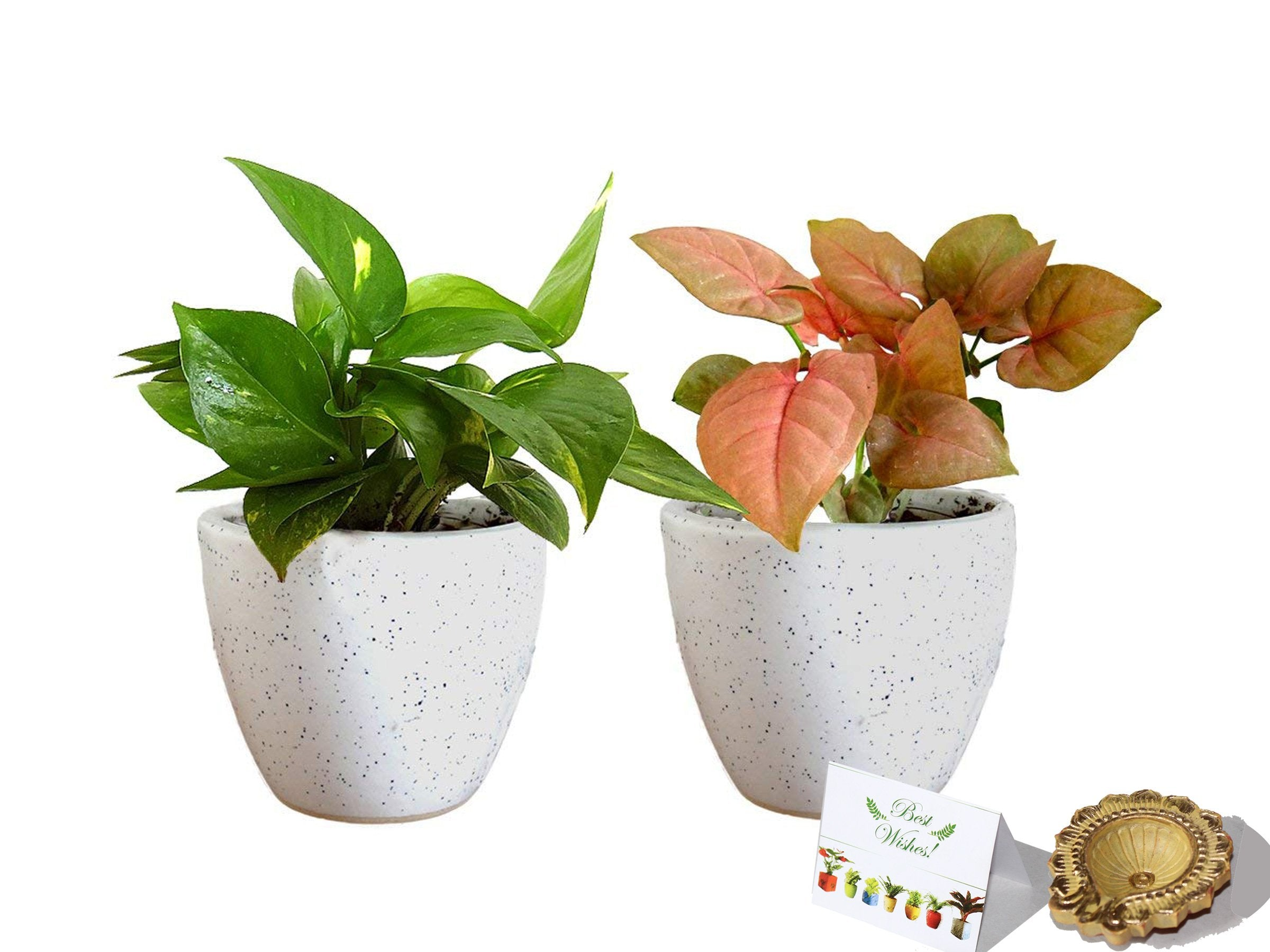 Rolling Nature Diwali Gift Combo of Good Luck Air Purifying  Money Plant and Syngonium Pink Plant in White Round Dew Ceramic Pot