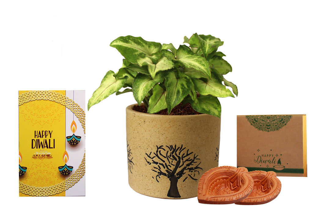 Rolling Nature Diwali Gift Combo of Air Purifying Good Luck Live Green Syngonium Plant in Brown Barrel Aroez Ceramic Pot