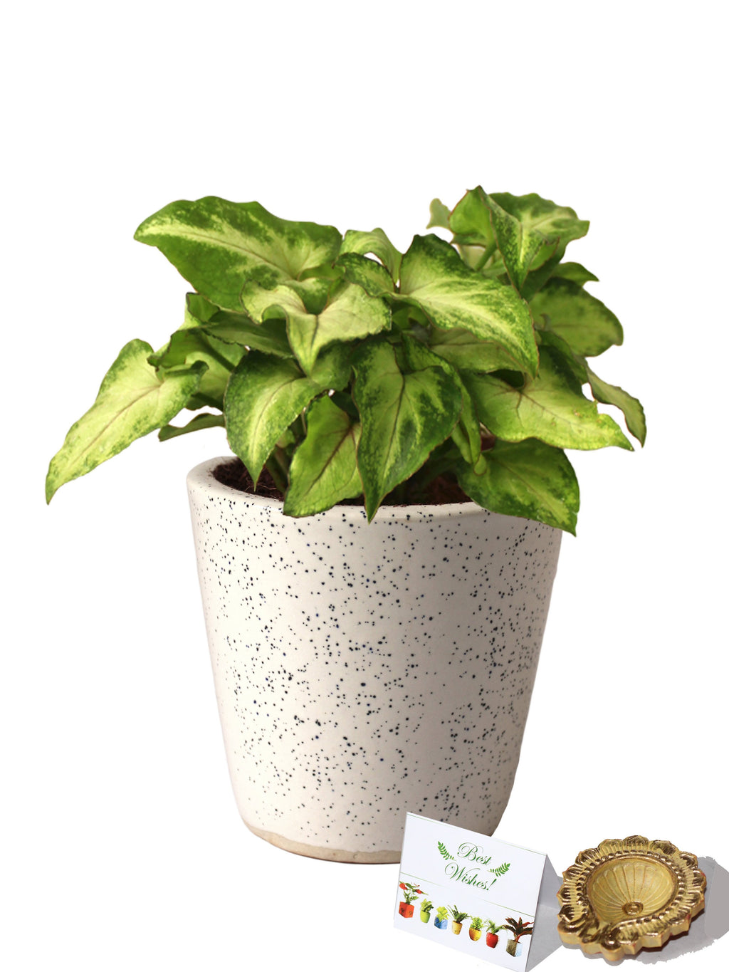 Rolling Nature Diwali Gift Combo of Good Luck Air Purifying Live Green Syngonium Plant in White Bucket Dew Ceramic Pot