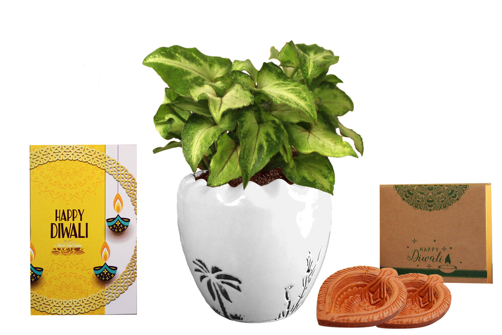 Rolling Nature Diwali Gift Combo of Good Luck Air Purifying  Green Syngonium Plant in White Ruffel Aroez Ceramic Pot