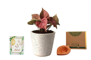 Rolling Nature Diwali Gift Combo of Good Luck Air Purifying Live Pink Syngonium Plant in White Bucket Dew Ceramic Pot