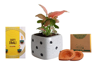 Rolling Nature Diwali Gift Combo of Good Luck Air Purifying Pink Syngonium Plant in White Dice Ceramic Pot