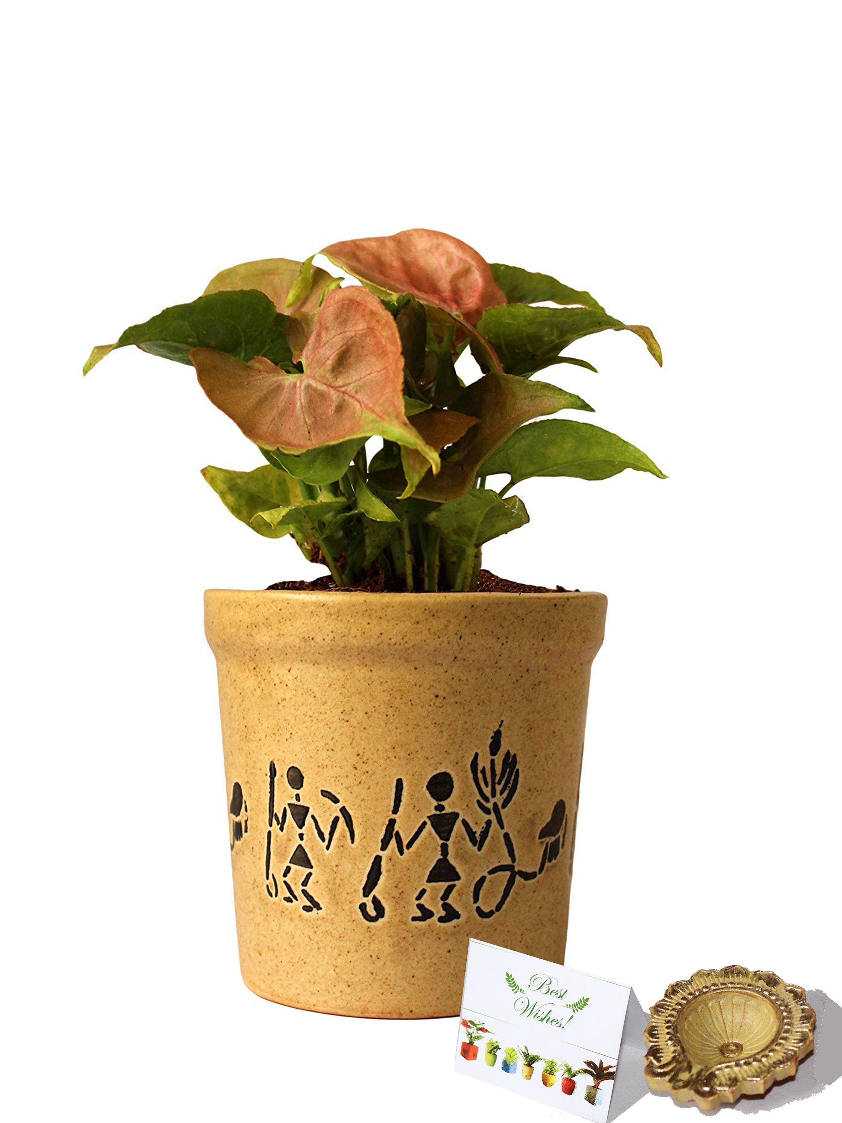 Rolling Nature Diwali Gift Combo of Good Luck Air Purifying Live Pink Syngonium Plant in Brown Jar Aroez Ceramic Pot