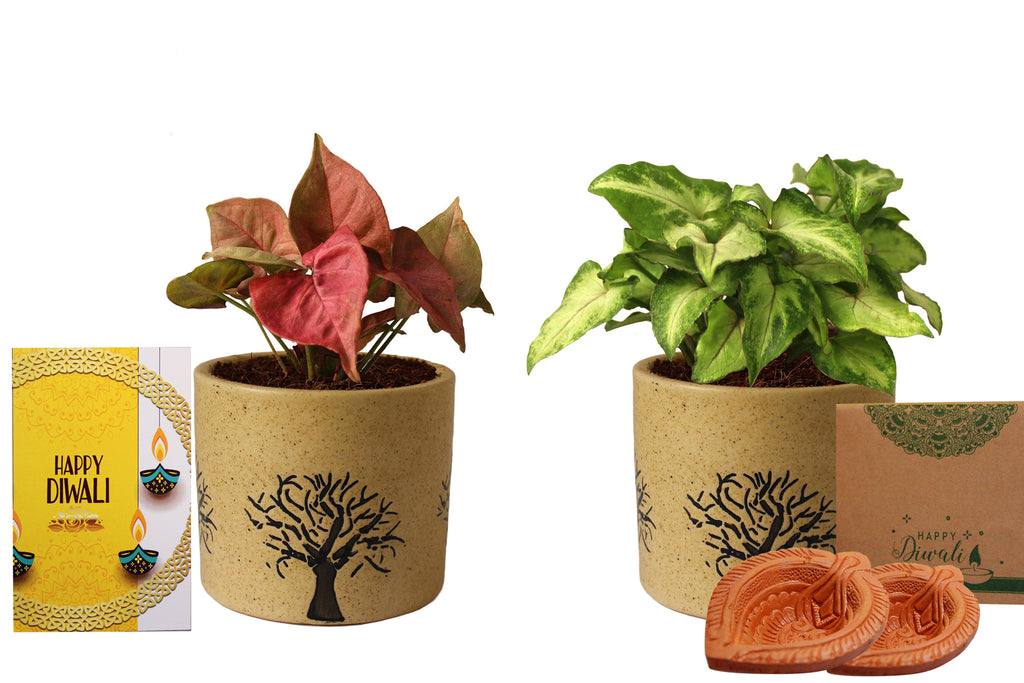 Rolling Nature Diwali Gift Combo of Good Luck Air Purifying Live Pink Syngonium and Green Syngonium Plant in Brown Barrel Aroez Ceramic Pot