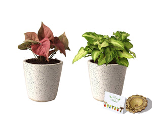 Rolling Nature Diwali Gift Combo of Good Luck Live Air Purifying Pink Syngonium and Green Syngonium Plant in White Bucket Dew Ceramic Pot