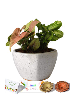 Rolling Nature Diwali Gift Combo of Good Luck Air Purifying Syngonium Plants Duet in White Heart Ceramic Pot