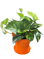 Money Plant in Orange Colorista Pot