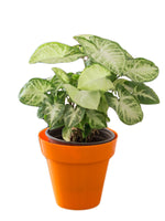 Syngonium Variegated in Orange Pot
