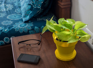 Golden Pothos in Yellow Pot