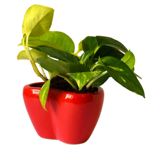 Good Luck Air Purifying Money Plants Duet in Red Heart Ceramic Pot