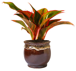 Rolling Nature  Good Luck Air Purifying Red Aglaonema Siam Aurora Chinese Evergreen Plant In Brown Drip Glazed Pitcher Ceramic Pot