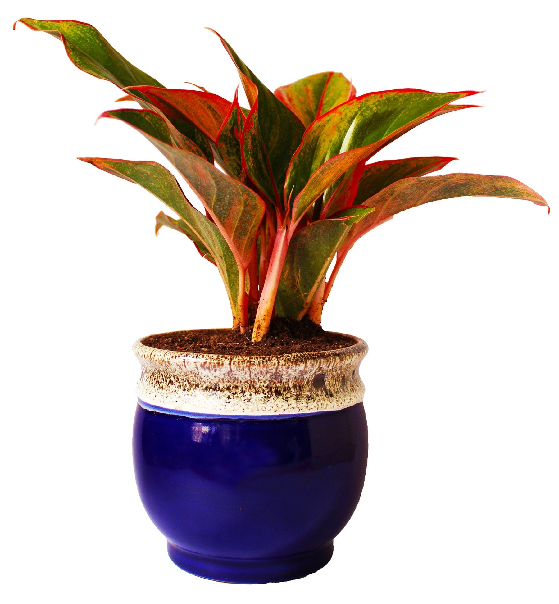 Rolling Nature  Good Luck Air Purifying Red Aglaonema Siam Aurora Chinese Evergreen Plant In Blue Drip Glazed Pitcher Ceramic Pot