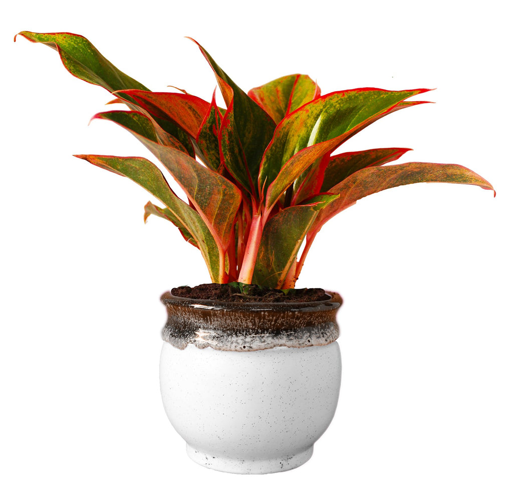 Rolling Nature  Good Luck Air Purifying Red Aglaonema Siam Aurora Chinese Evergreen Plant In White Drip Glazed Pitcher Ceramic Pot