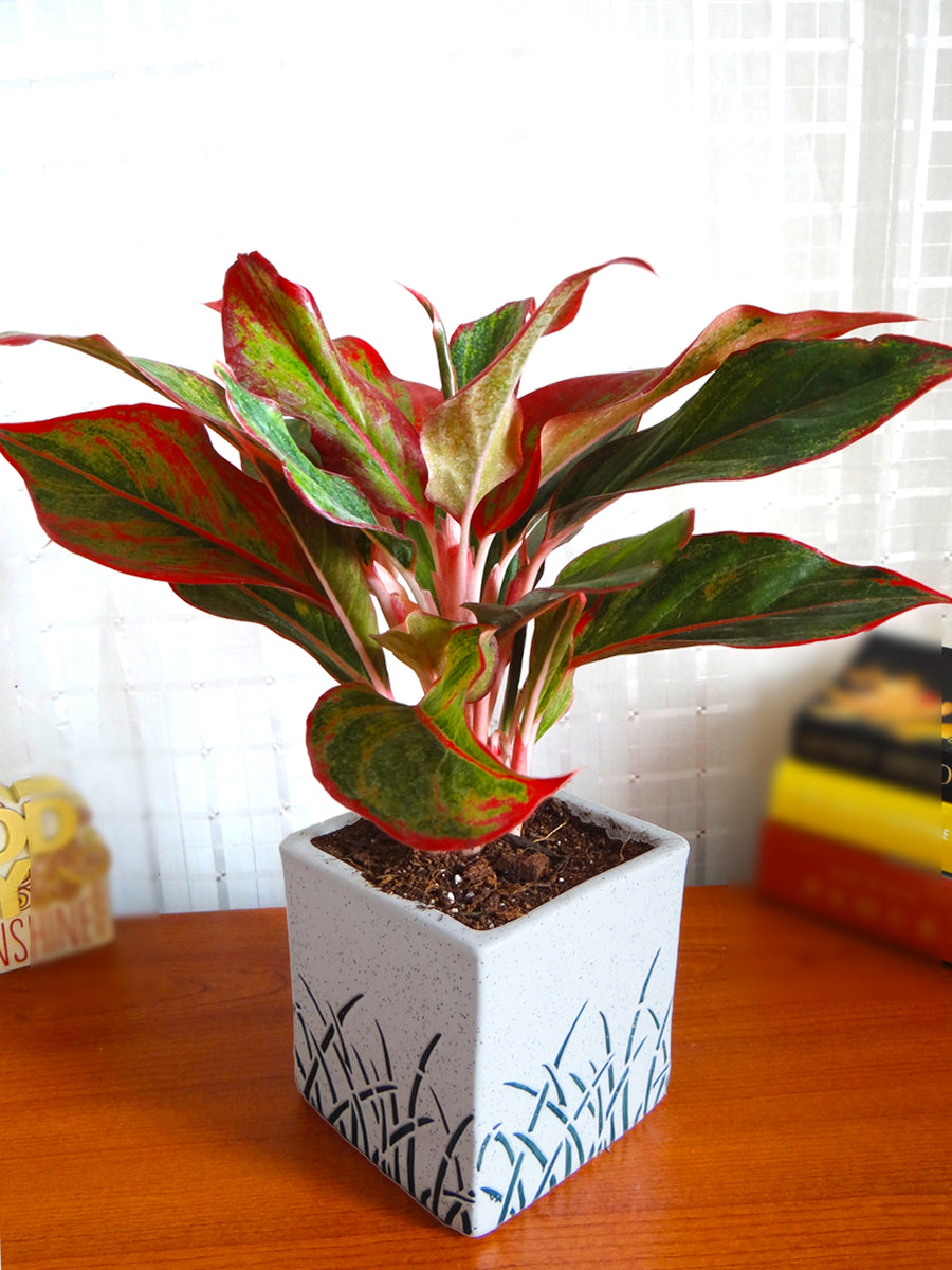 Red Aglaonema Siam Aurora Chinese Evergreen Plant In White