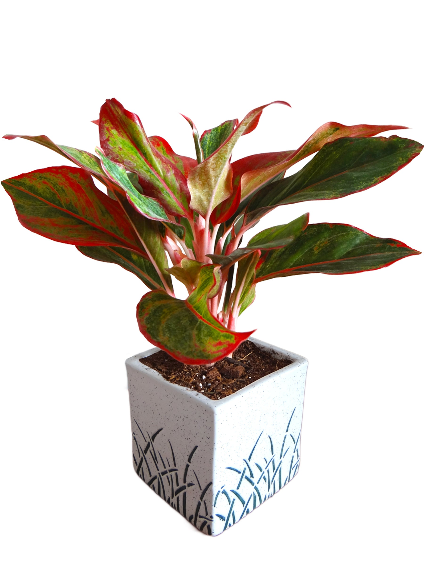 Red Aglaonema Siam Aurora Chinese Evergreen Plant in White Cube Aroez Ceramic Pot