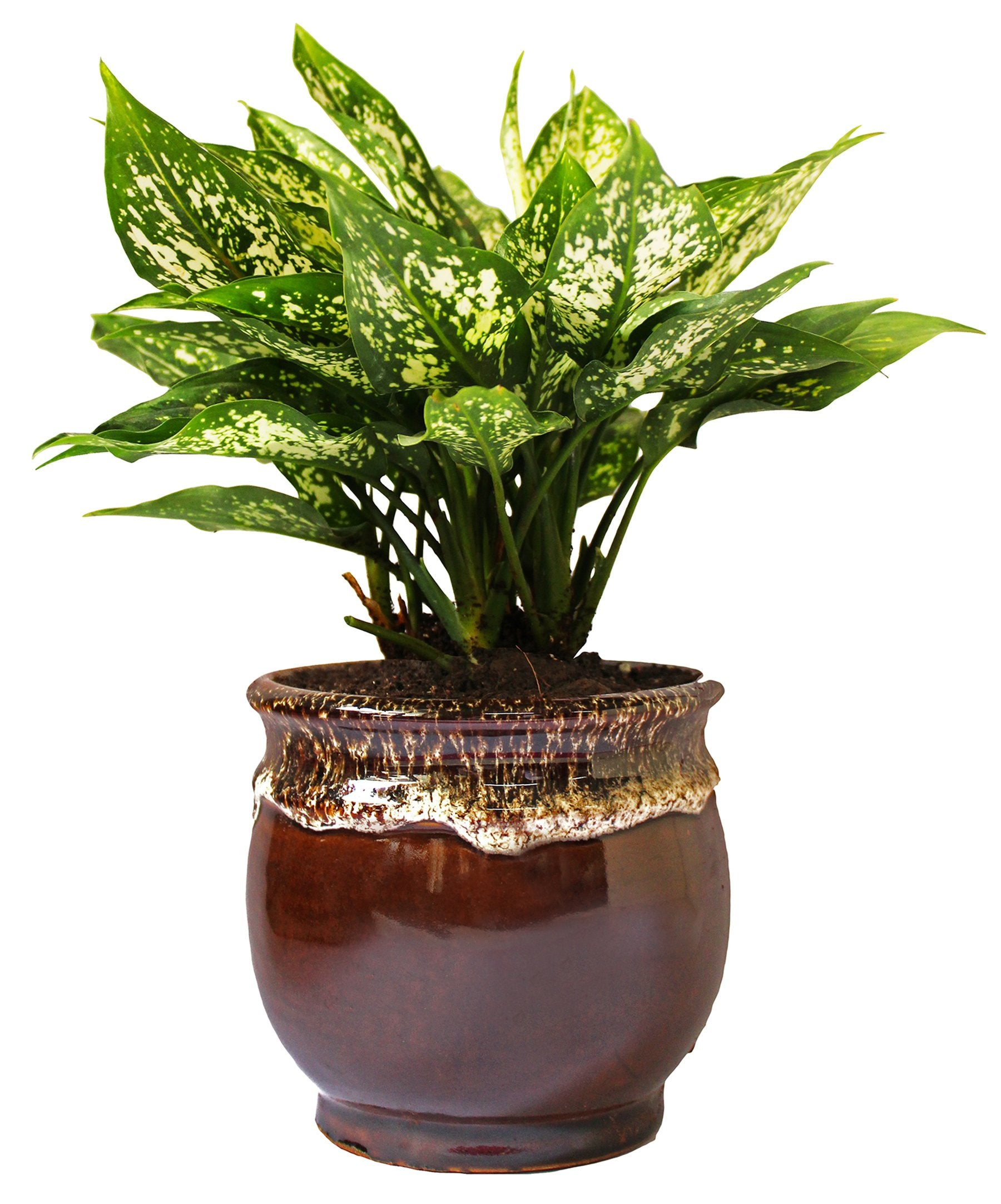 Rolling Nature  Good Luck Air Purifying Green Aglaonema Snow White Chinese Evergreen Plant in Brown Drip Glazed Pitcher Ceramic Pot