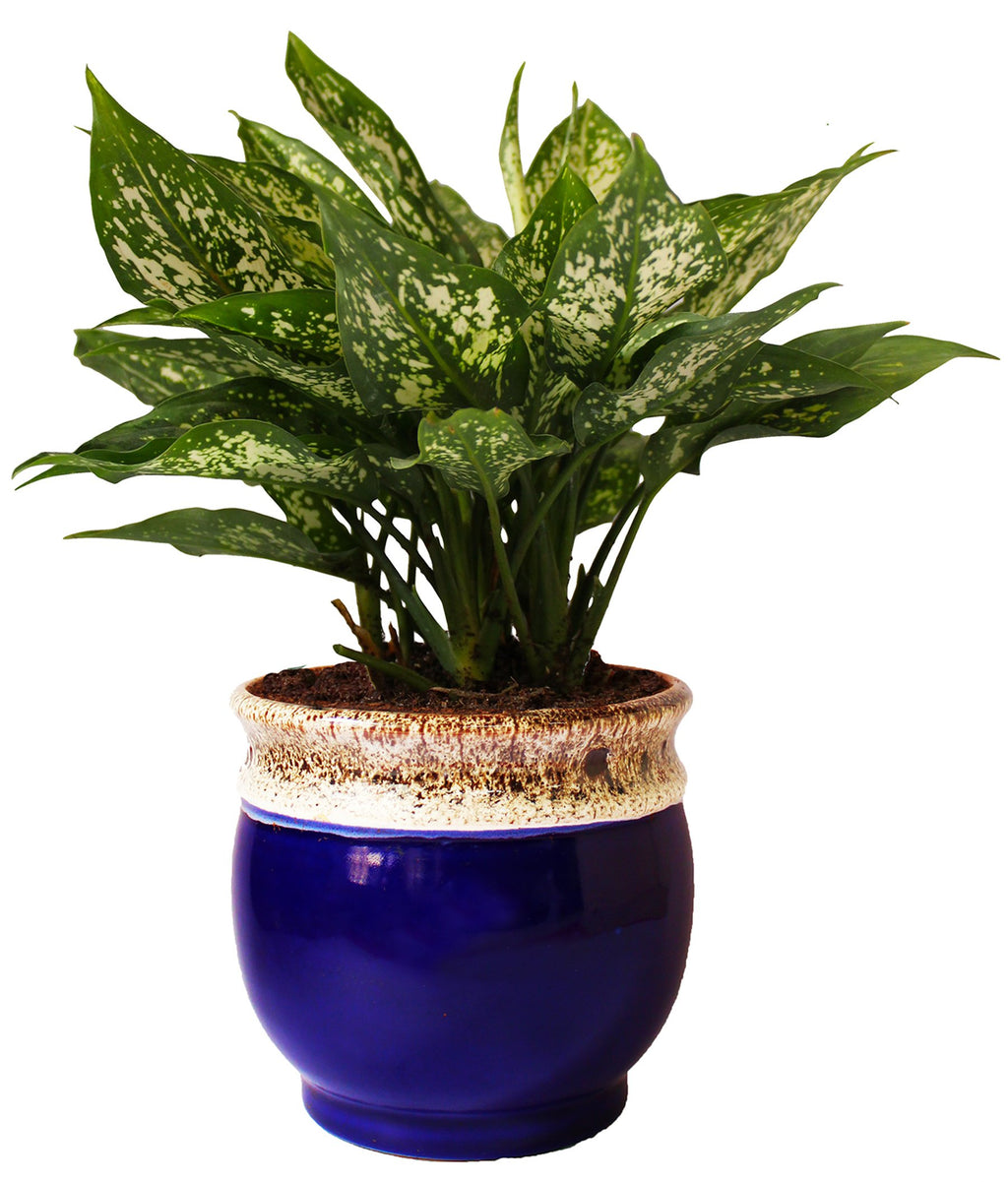 Rolling Nature  Good Luck Air Purifying Green Aglaonema Snow White Chinese Evergreen Plant in Blue Drip Glazed Pitcher Ceramic Pot