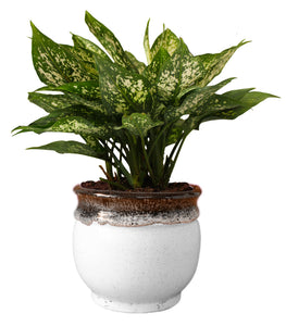 Rolling Nature  Good Luck Air Purifying Green Aglaonema Snow White Chinese Evergreen Plant in White Drip Glazed Pitcher Ceramic Pot