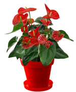 Exotic Anthurium Red Plant In Red Colorista Pot