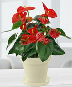 Exotic Anthurium Red Plant In White Colorista Pot