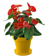 Exotic Anthurium Red Plant In Yellow Colorista Pot