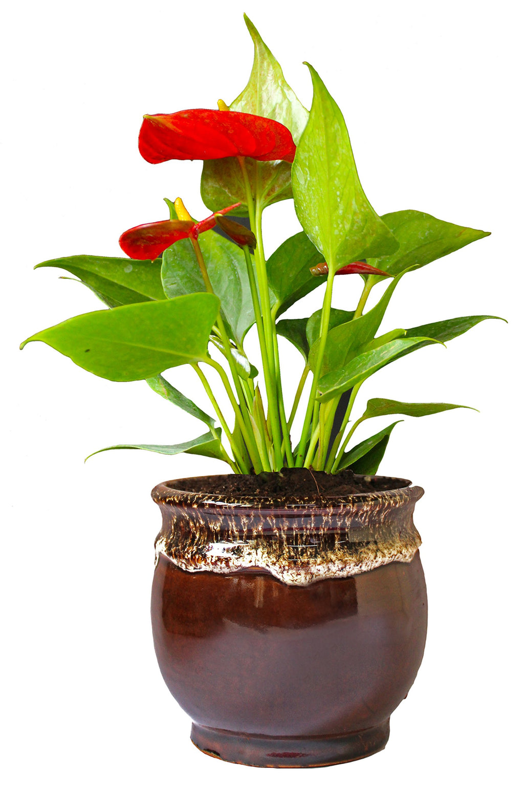 Rolling Nature Exotic Anthurium Red Plant in Brown Drip Glazed Pitcher Ceramic Pot