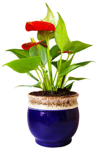 Rolling Nature  Good Luck Air Purifying Exotic Anthurium Red Plant in Blue Drip Glazed Pitcher Ceramic Pot