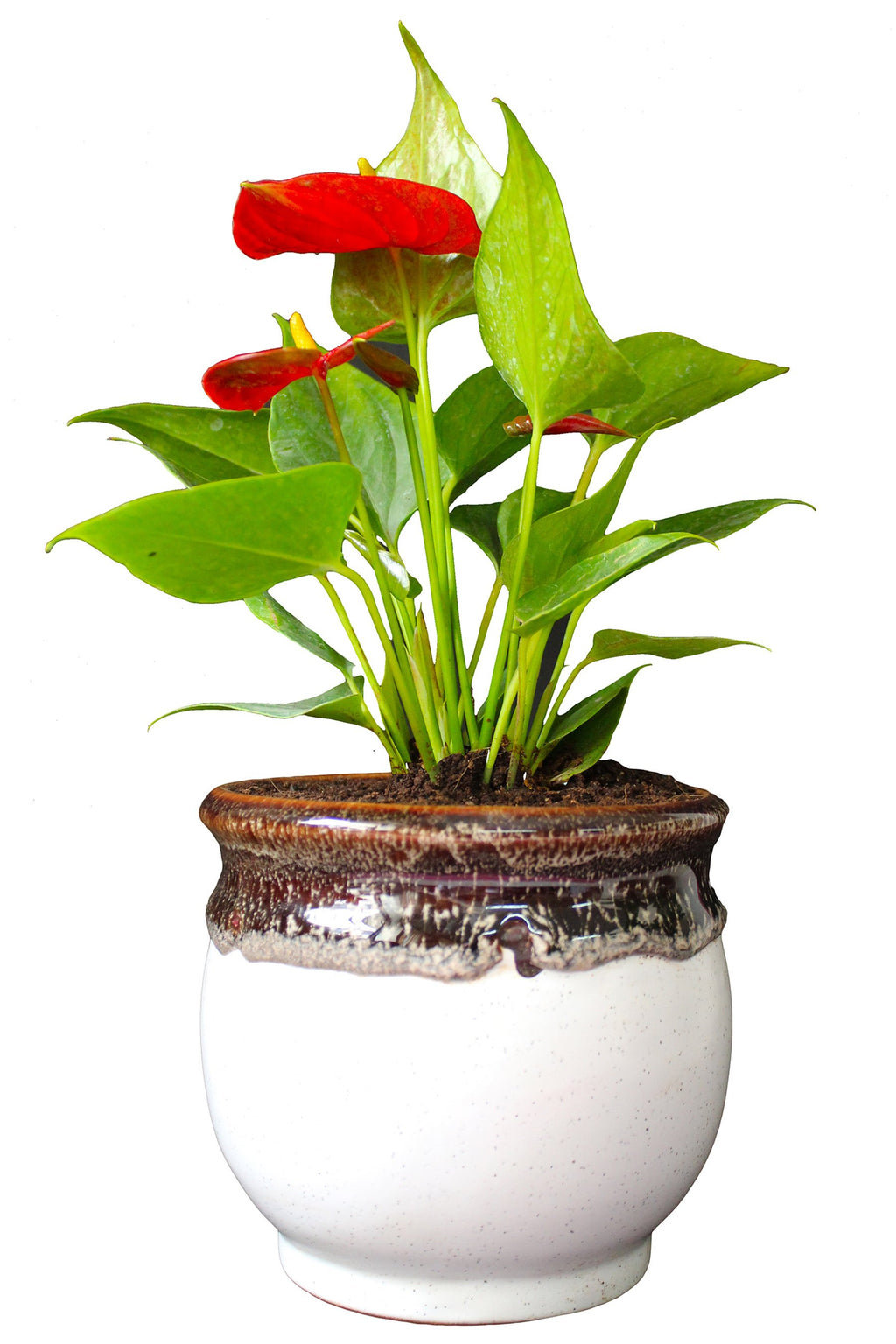 Rolling Nature  Good Luck Air Purifying Exotic Anthurium Red Plant in White Drip Glazed Pitcher Ceramic Pot