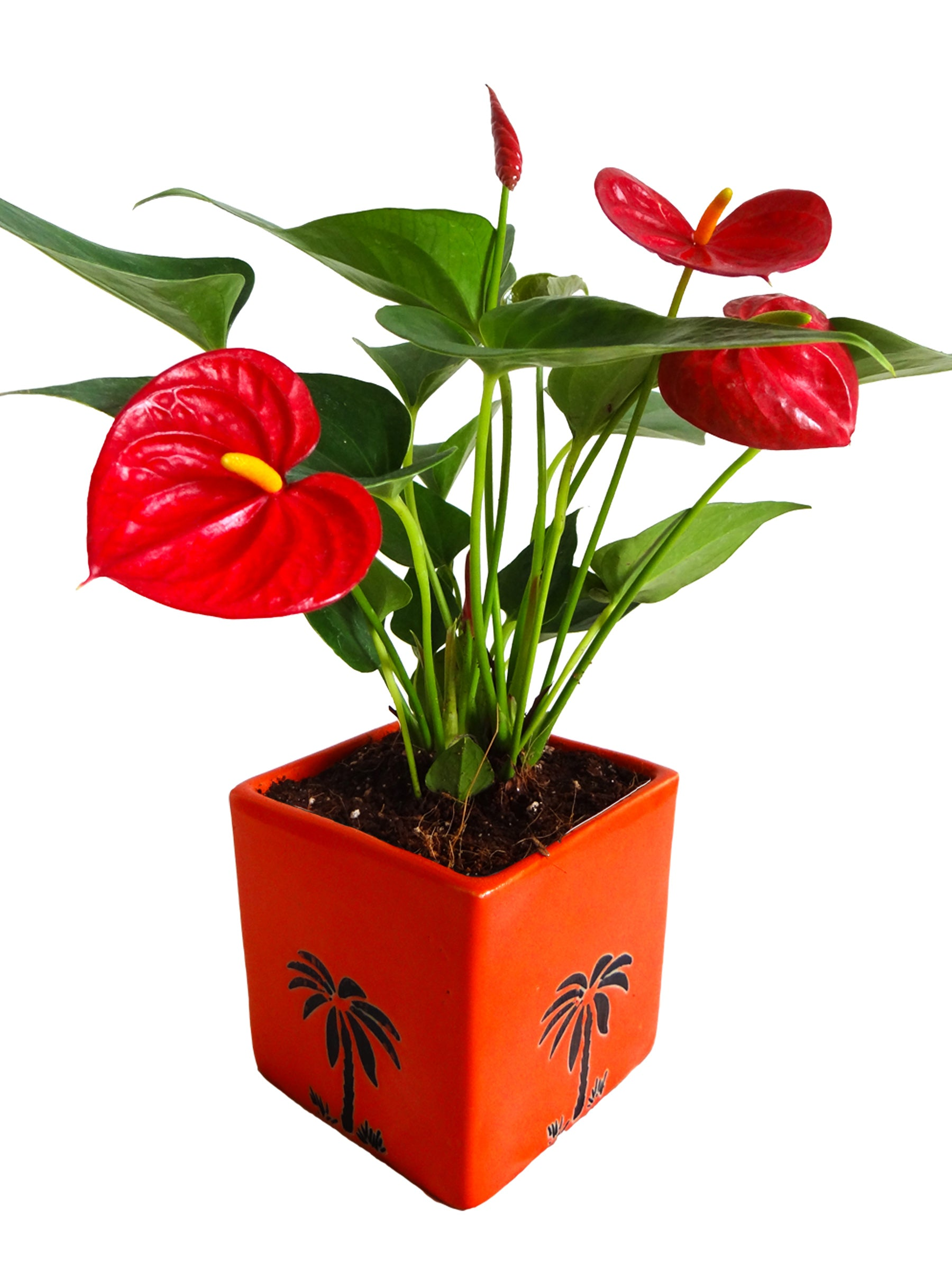 Exotic Anthurium Red Plant in Orange Cube Aroez Ceramic Pot