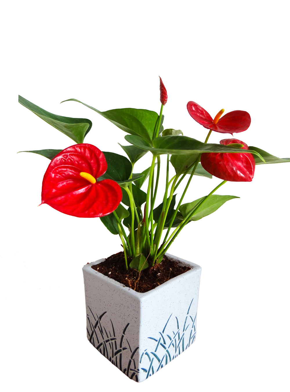 Air Purifying Red Anthurium Plant in White Cube Aroez Ceramic Pot