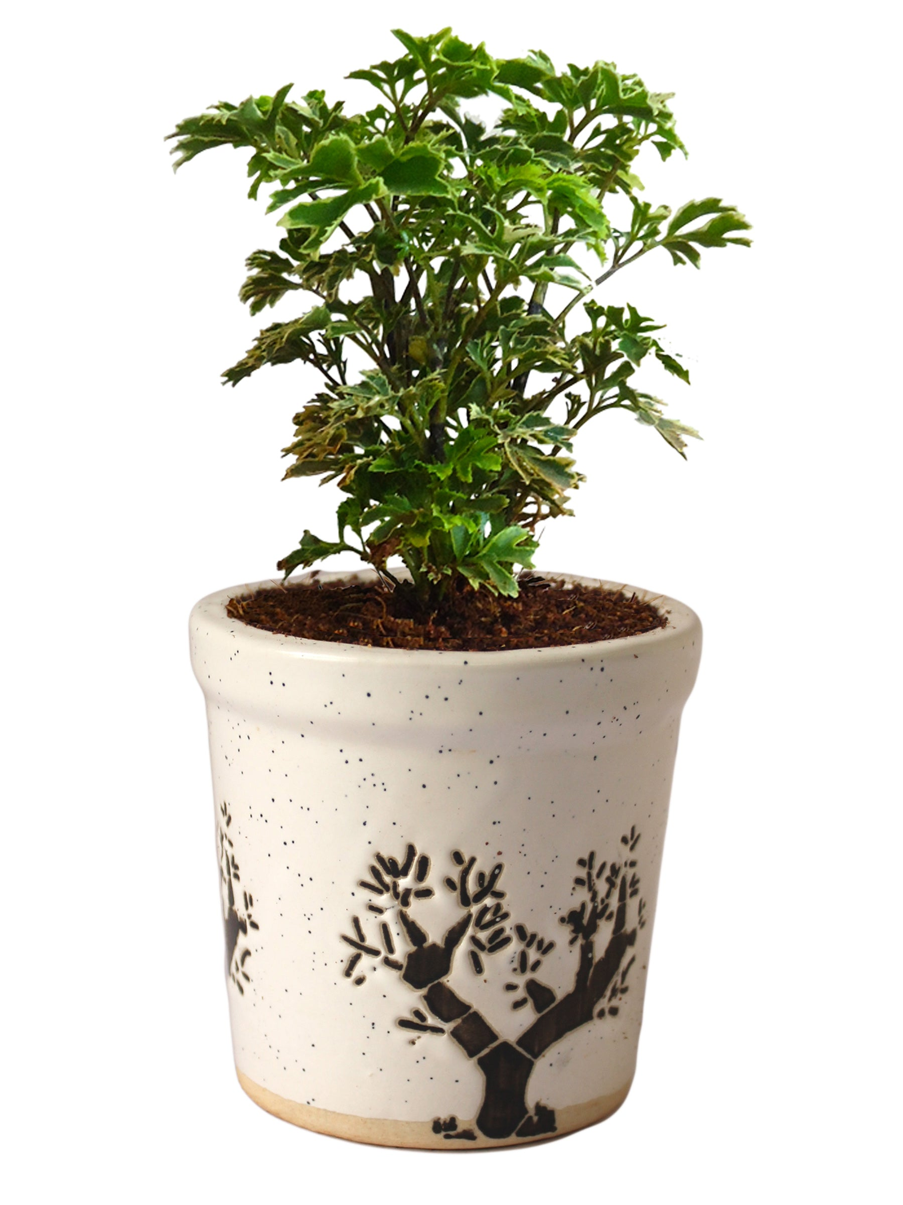 Aralia Variegated in White Jar Aorez Ceramic Pot