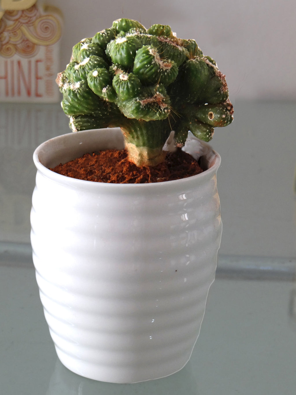 Cereus Monster Cactus Plant in White Ceramic Pot