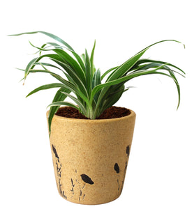 Rolling Nature Air Purifying Live Spider Plant in Brown Bucket Aroez Ceramic Pot