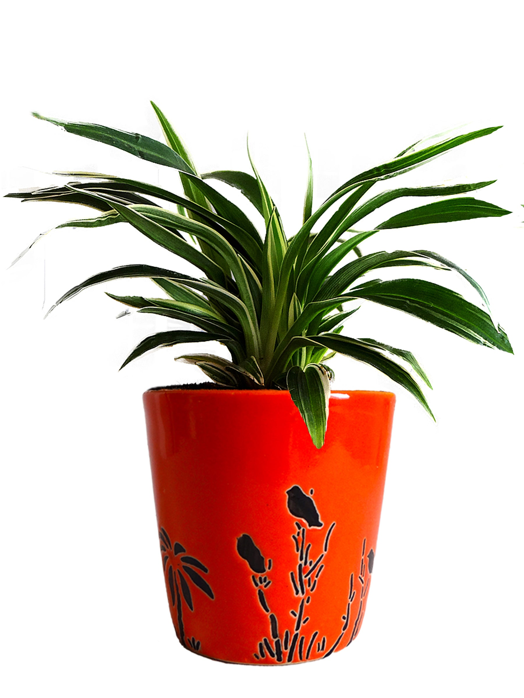 Air Purifying Spider Plant in Orange Bucket Aroez Ceramic Pot