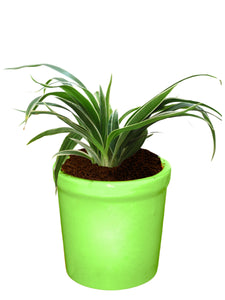 Rolling Nature Air Purifying Live Spider Plant in Green Jar Ceramic Pot