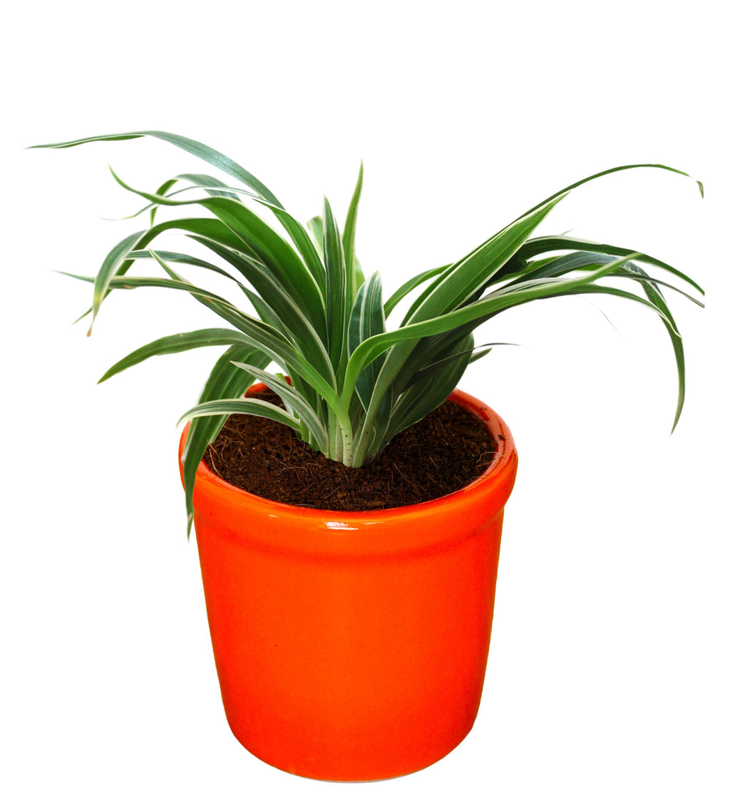 Rolling Nature Air Purifying Live Spider Plant in Orange Jar Ceramic Pot