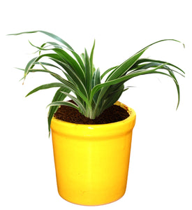 Rolling Nature Air Purifying Live Spider Plant in Yellow Jar Ceramic Pot