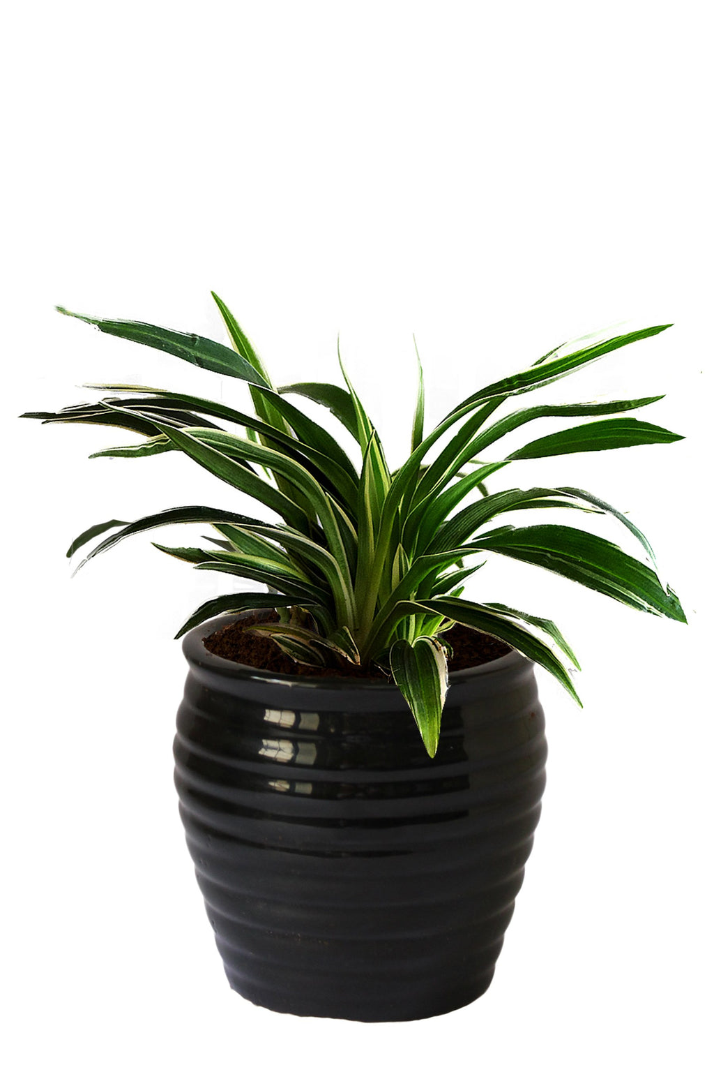 Rolling Nature Air Purifying Spider Plant in Black Ceramic Pot