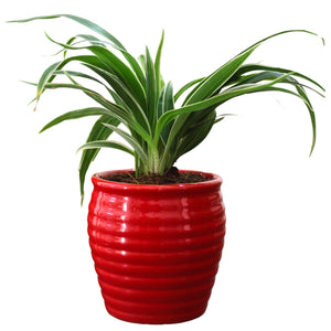 Rolling Nature Air Purifying Live Spider Plant in Red Ceramic Pot
