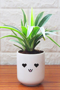 Spider Plants in ceramic pots