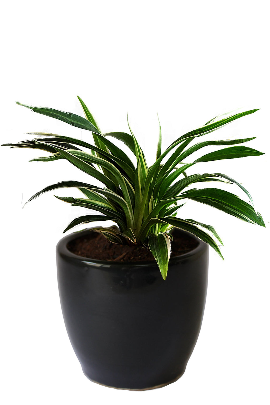 Rolling Nature Air Purifying Spider Plant in Black Pear Ceramic Pot