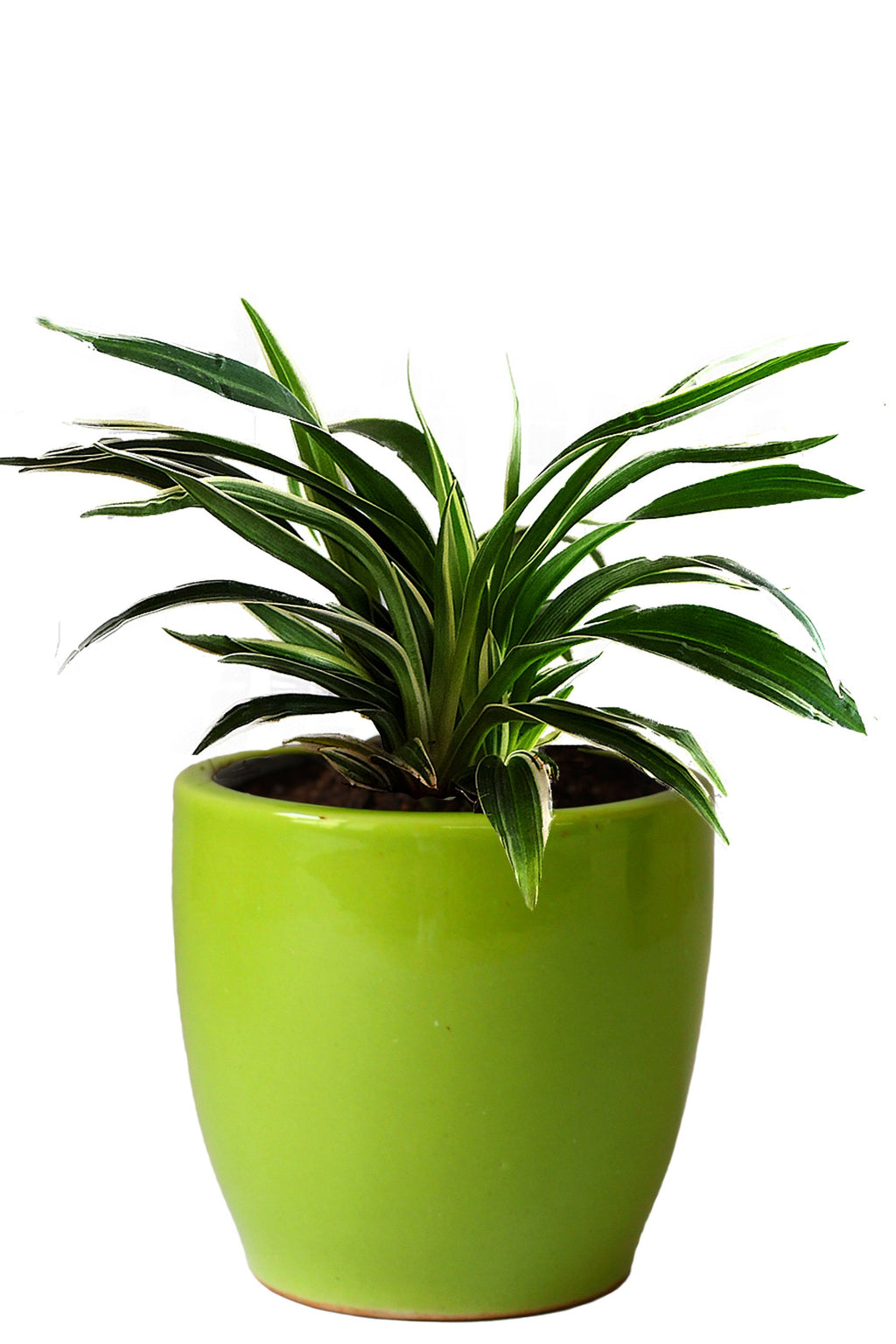 Rolling Nature Air Purifying Spider Plant in Green Pear Ceramic Pot