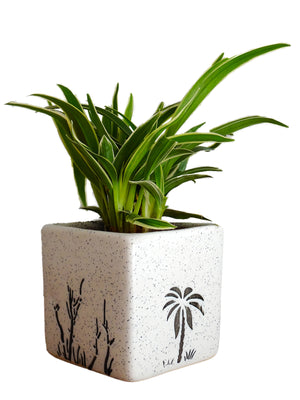 Air Purifying Spider Plant in White Square Aroez Ceramic Pot