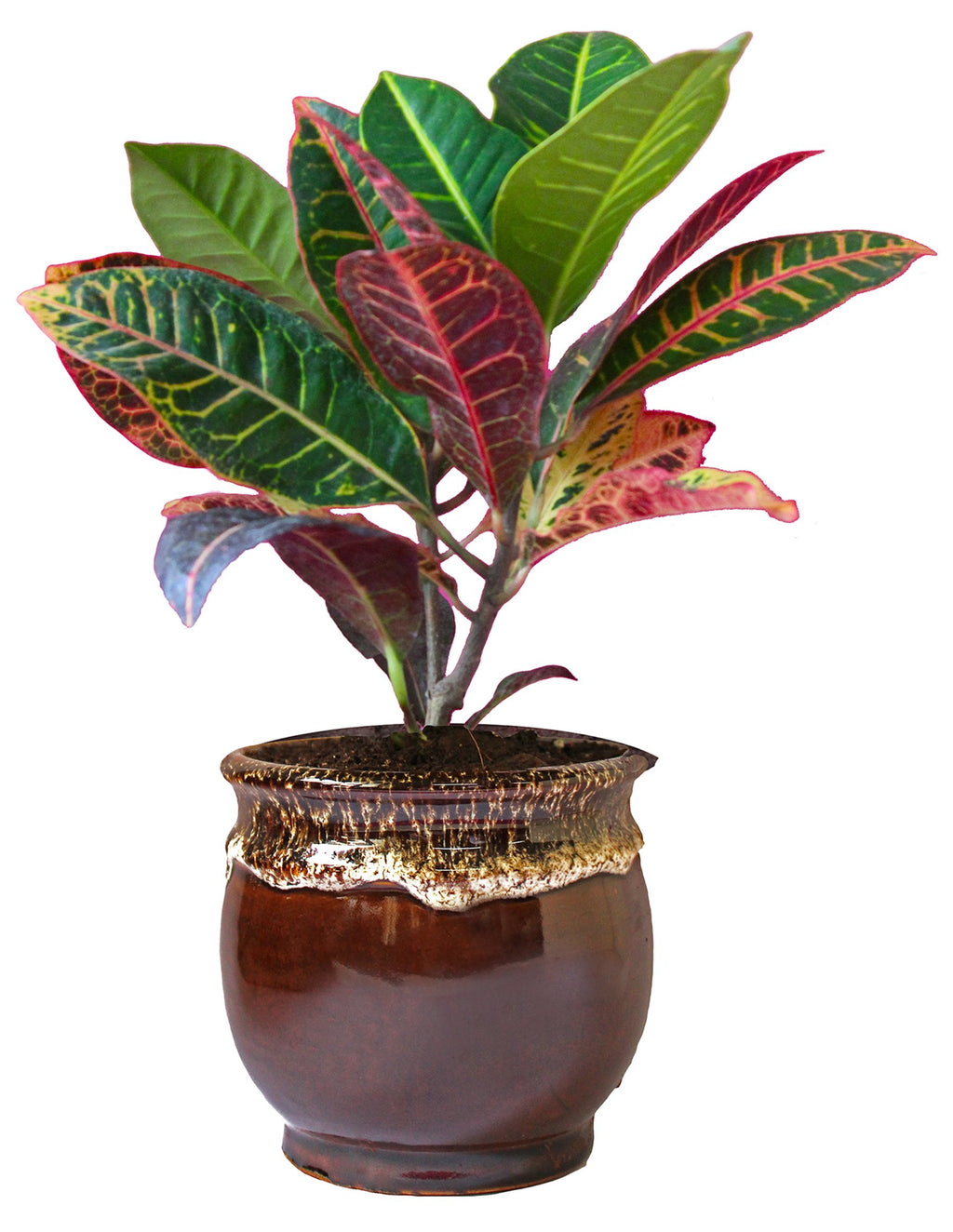 Rolling Nature Croton Petra Plant in Brown Drip Glazed Pitcher Ceramic Pot