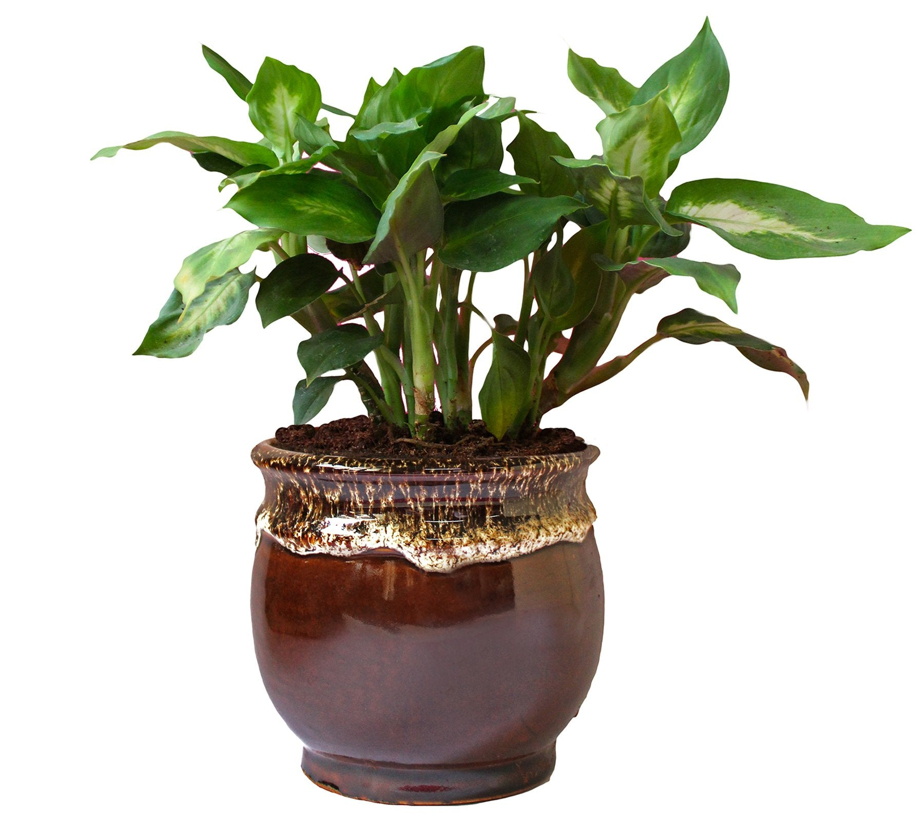 Rolling Nature  Dieffenbachia Camilla Plant in Brown Drip Glazed Pitcher Ceramic Pot