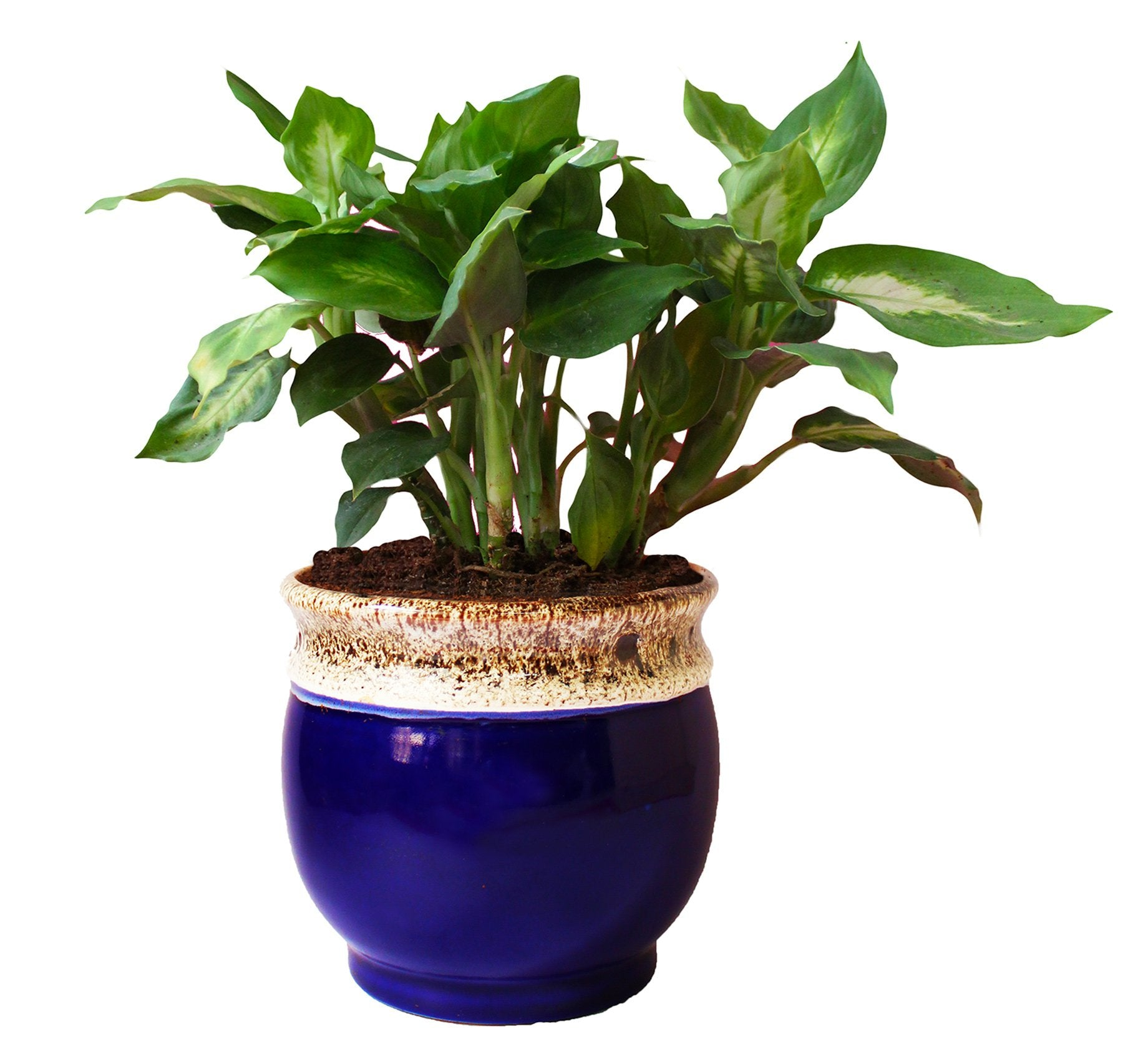 Rolling Nature  Dieffenbachia Camilla Plant in White Drip Glazed Pitcher Ceramic Pot