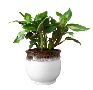 Rolling Nature  Dieffenbachia Camilla Plant in Blue Drip Glazed Pitcher Ceramic Pot